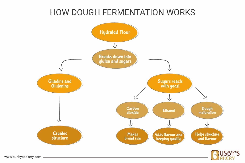 How dough fermentation works diagram
