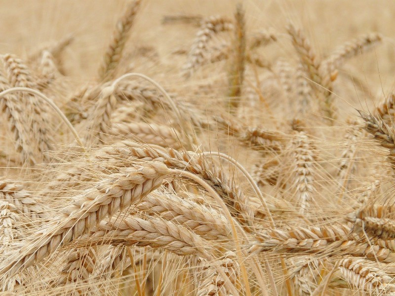 Is FrankenWheat real