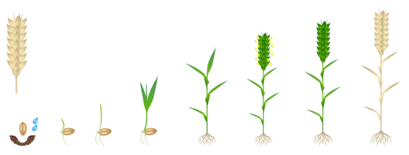 Wheat growing from seed to mature plant